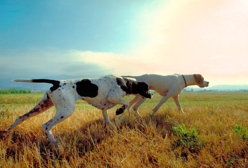 The Pointer was bred to match its name, pointing game birds for centuries.