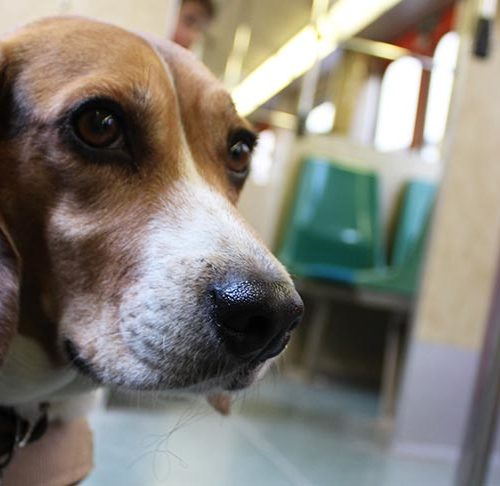 Beagle Puppy Up-Close Sports Bag