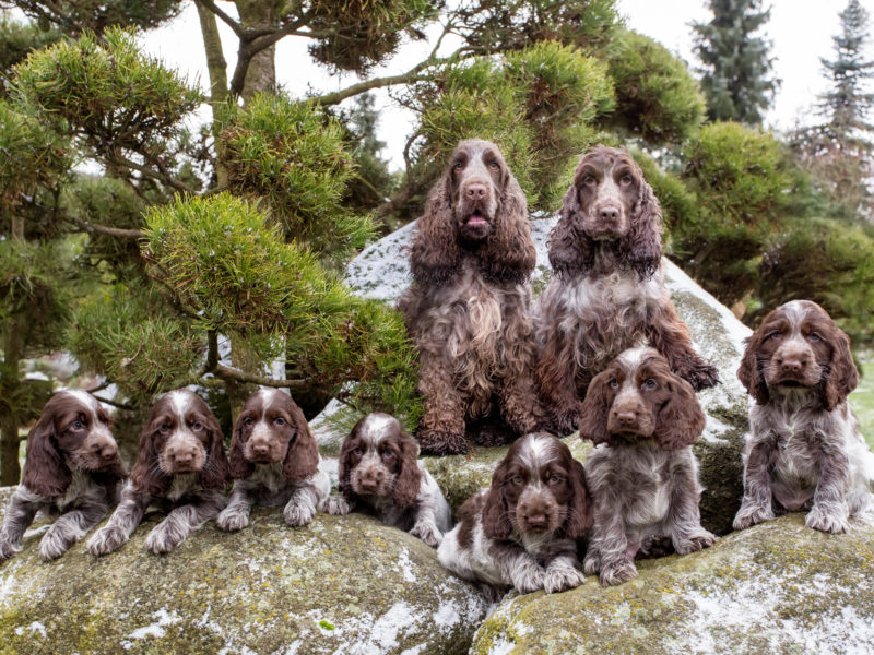 portrait of champions of English Cocker Spaniel family outdoor