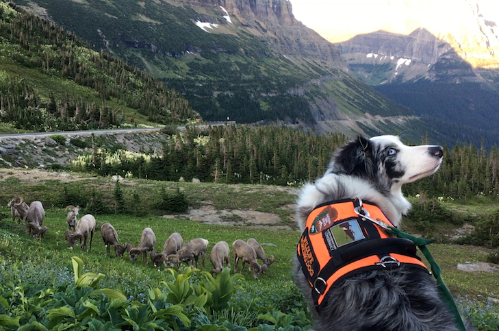 Border Collie Keeps Watch Over National Park in Bark Ranger Program