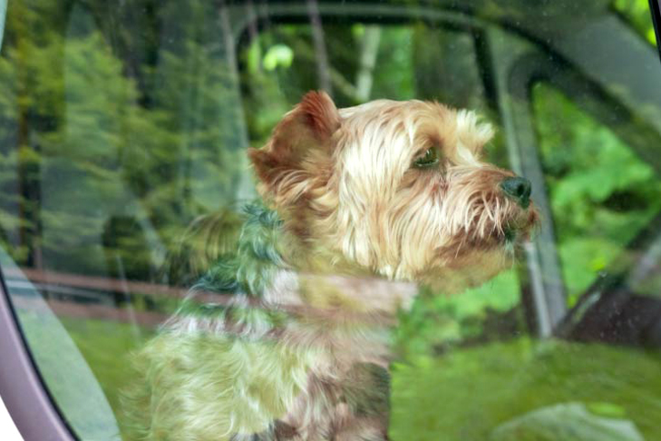 Yorkshire Terrier Yorkie in a car