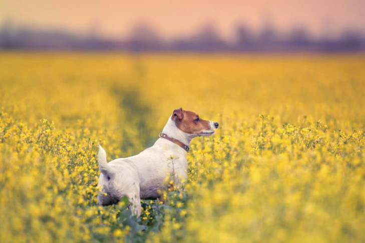 Smooth Fox Terrier in a field