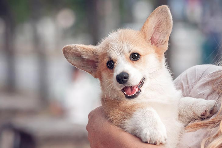 Pembroke Welsh Corgi puppy being held in the arms of a young woman.