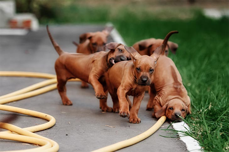 Rhodesian Ridgeback puppies running outdoors in a garden.