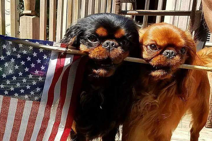 English toy spaniel July 4th