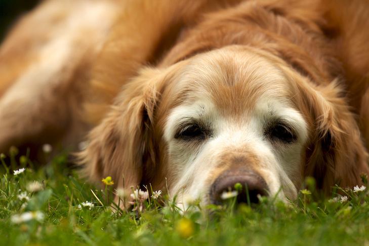 Senior Golden Retriever laying down in the grass.
