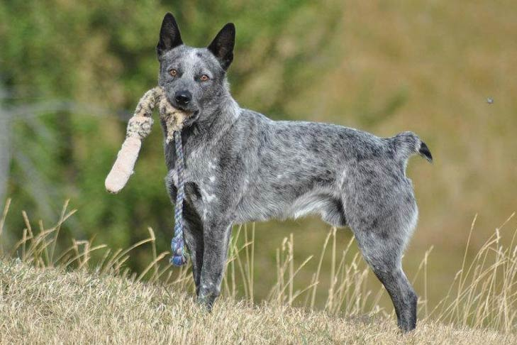 Australian Stumpy Tail Cattle Dog Dog Breed Information