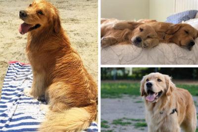 golden retriever dog stars of instagram