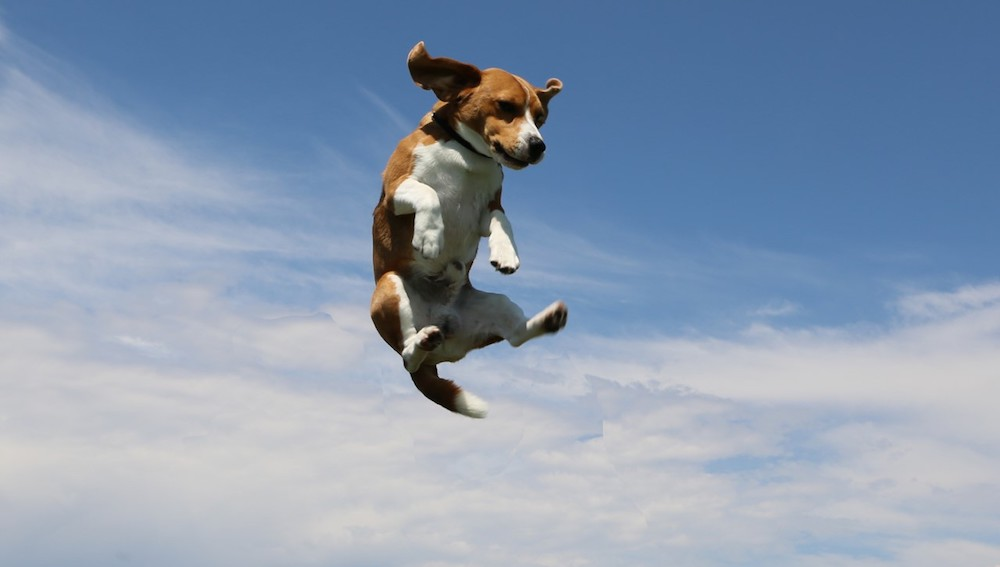From Show Ring To Film Set, Butters The Beagle Attracts