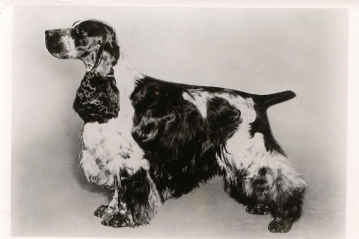 English Cocker Spaniel black and white photo