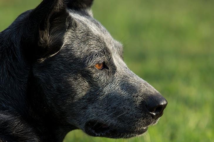 Australian Stumpy-Tail Cattle Dog head facing right outdoors.