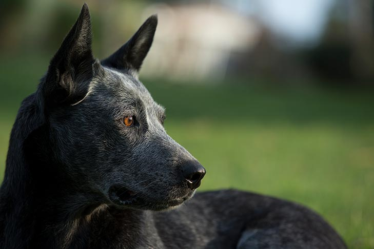 Australian Stumpy Tail Cattle Dog Dog Breed Information