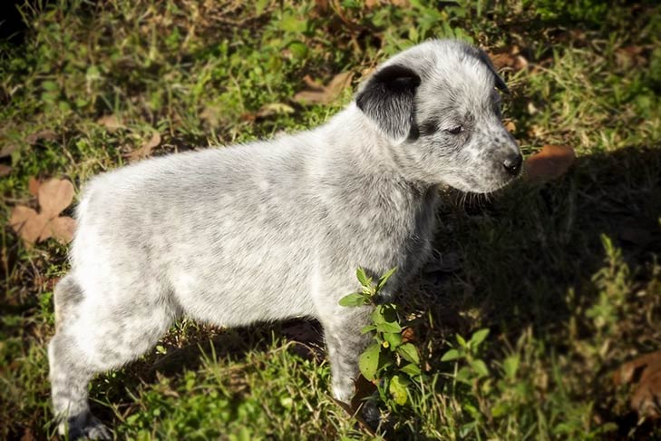 Australian Stumpy Tail Cattle Dog Dog Breed Information American