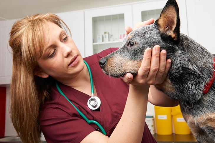 Australian Cattle Dog having its eyes checked by the vet.