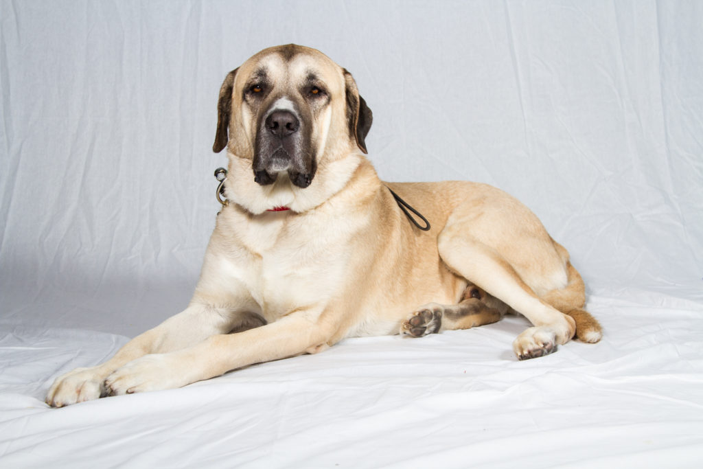 anatolian shepherd dog working group