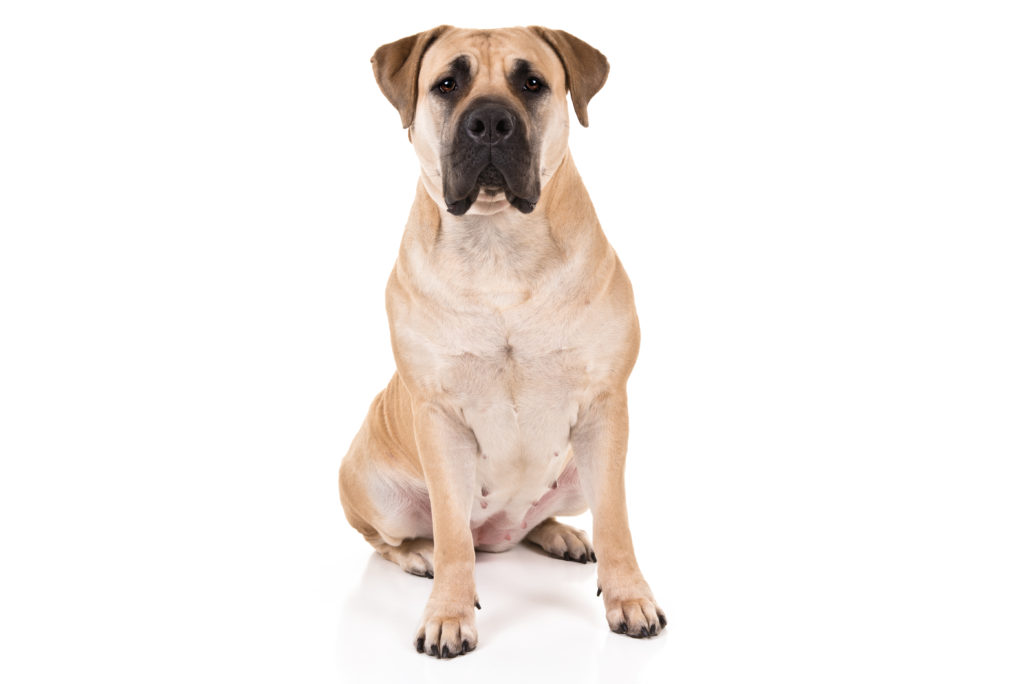 boerboel working group