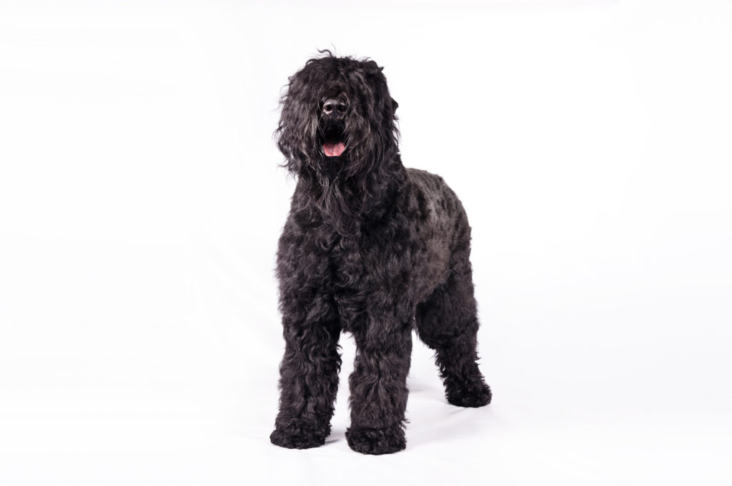 black russian terrier working group