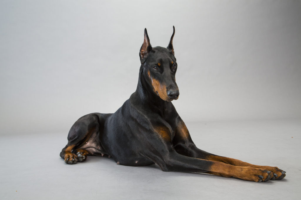 doberman pinscher working group