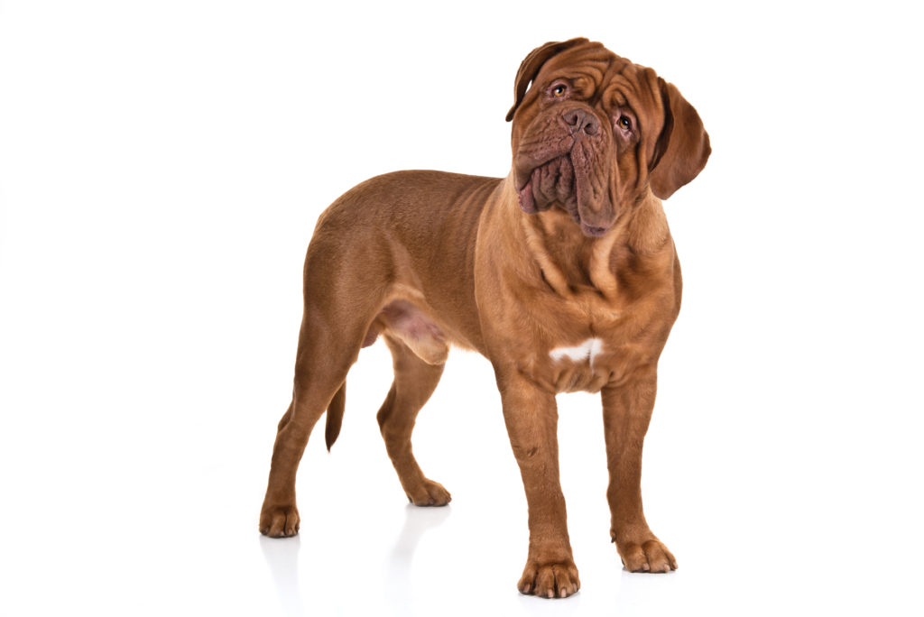 dogue de bordeaux working group