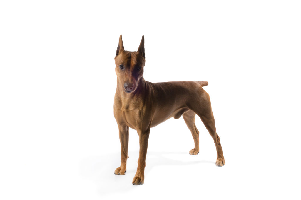german pinscher working group