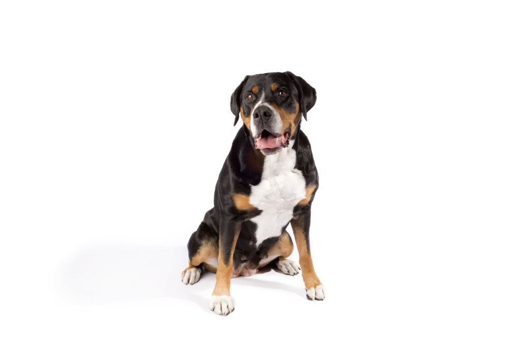 greater swiss mountain dog working group