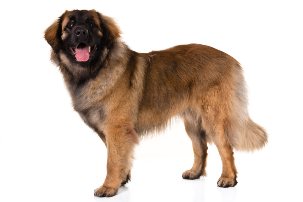 leonberger working group