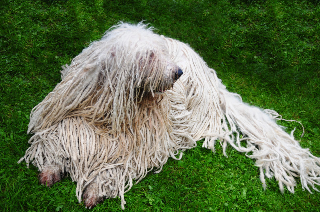 komondor working group