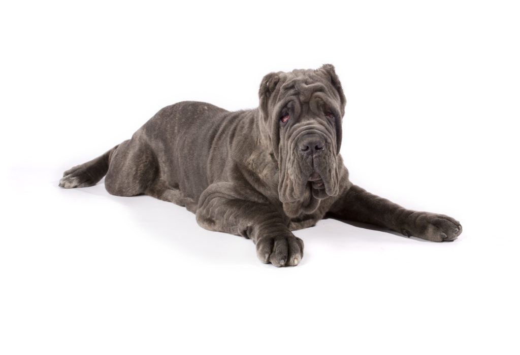 neopolitan mastiff working group