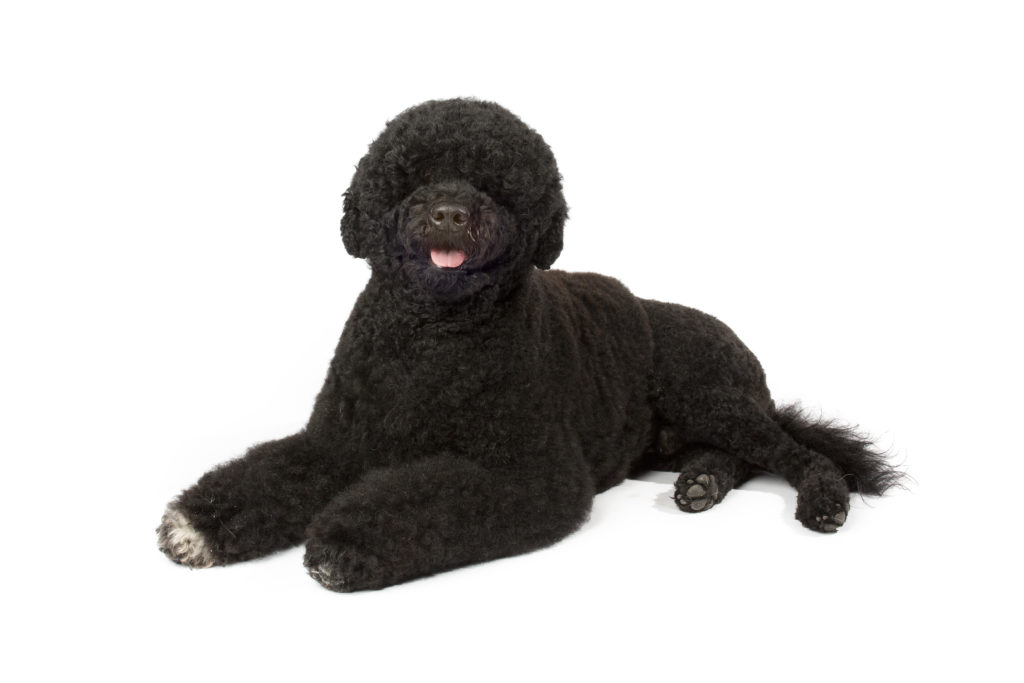 portuguese water dog working group