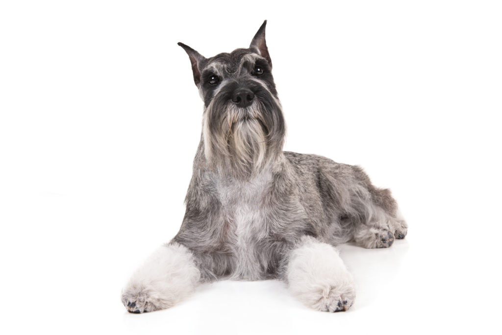 standard schnauzer working group