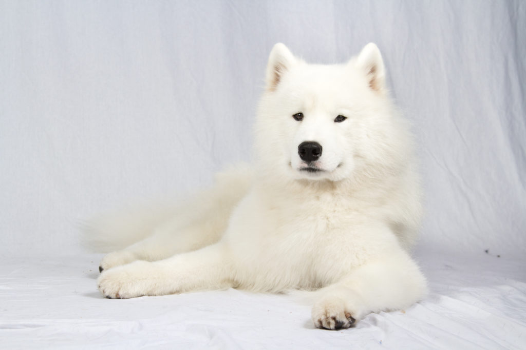 samoyed working group