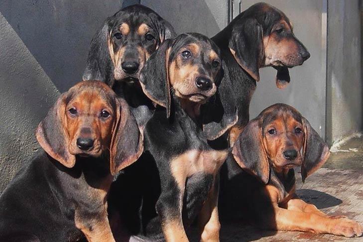 Segugio Italiano puppies