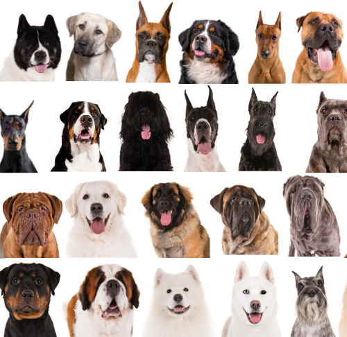 Working Dogs Meet 30 Purposely Bred Dogs American Kennel Club