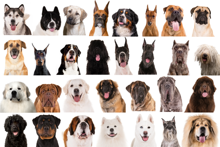 Working Dogs: Meet 30 Purposely-Bred Dogs – American Kennel Club