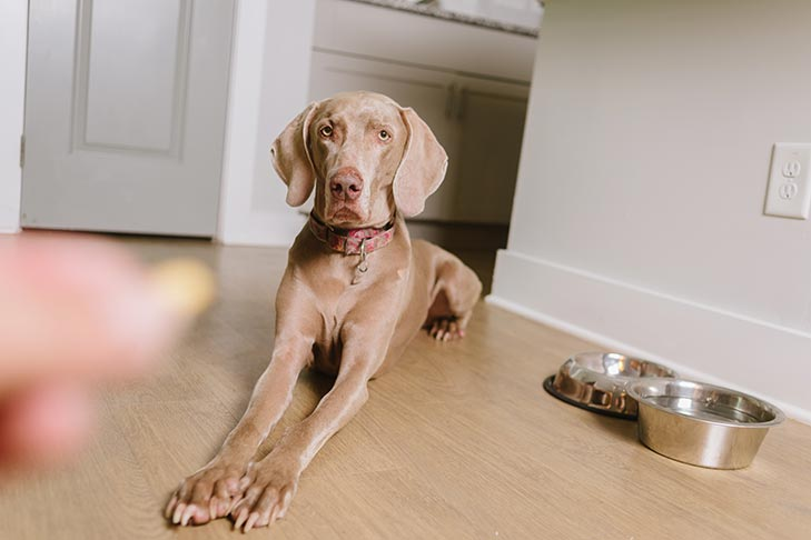 Weimaraner lying on command for a treat near its food and water bowls.