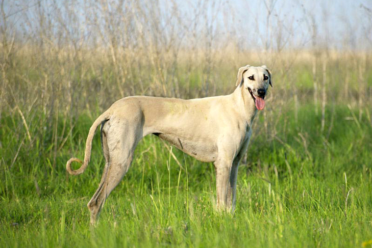The Sloughi Is An Ancient Dog Breed Of Sighthound Developed In North African Area That Includes Algeria Libya Morocco And Tunisia