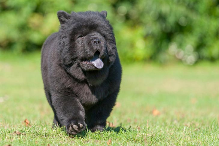 Black Chow Chow puppy walking in the grass.