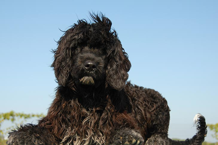 Hypoallergenic Dogs Does Such A Thing Really Exist