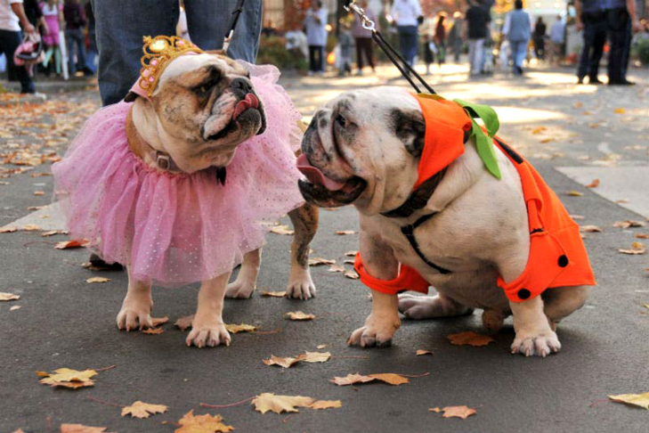 Two bulldogs in Halloween costumes