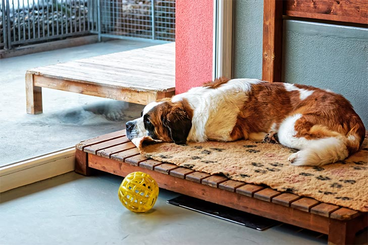 Saint Bernard lying indoors on a dog bed looking out a large window.