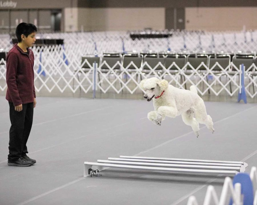 White Poodle Rally Jumping