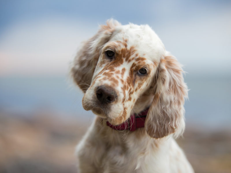 Why Do Dogs Tilt Their Heads? – American Kennel Club