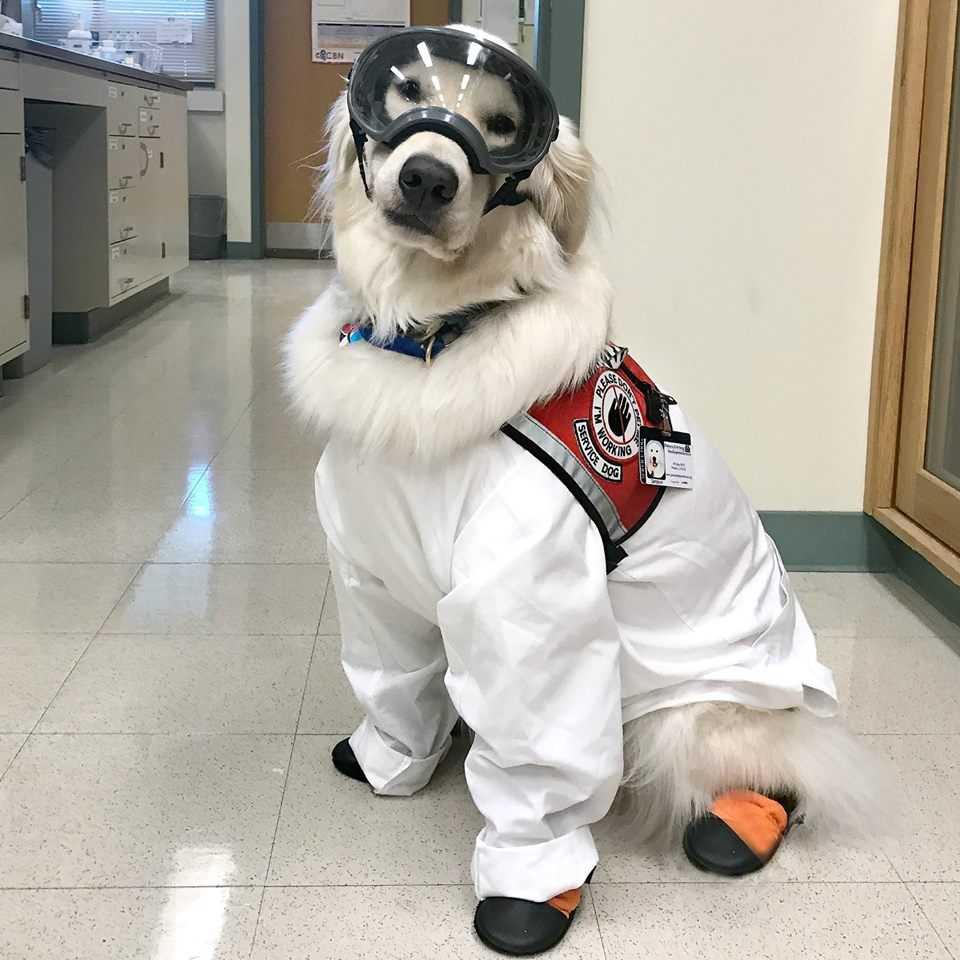 Sampson Service Dog in Uniform