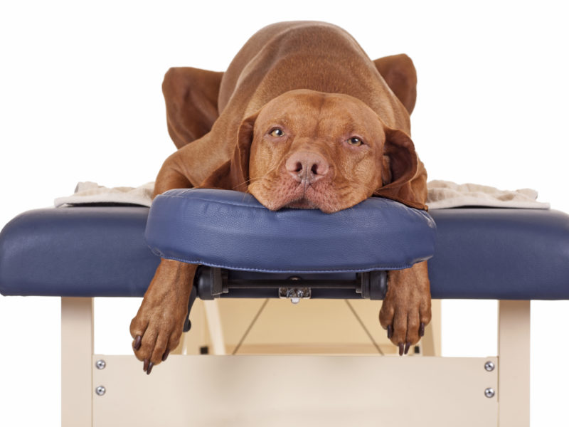 dog on massage table