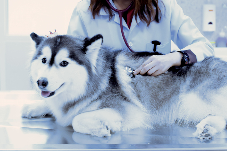 Siberian Husky being examined by a vet.