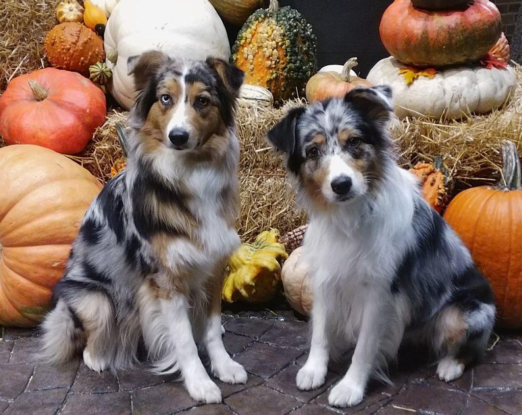 Australian Shepherd dogs in fall scene