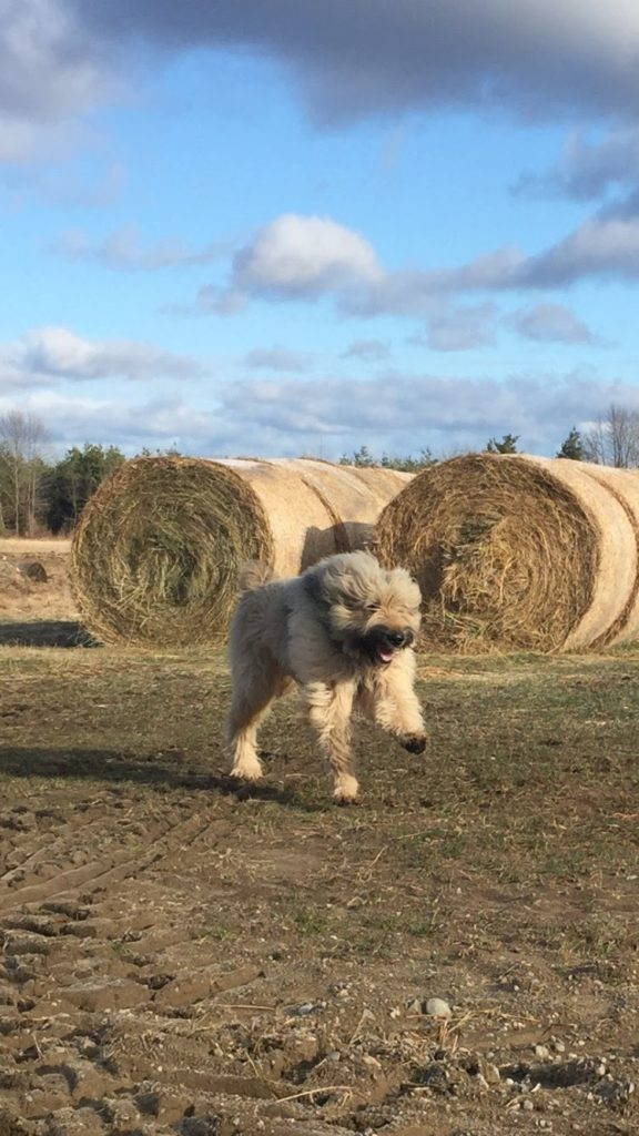 Bouvier des Flandres running in a field with hay