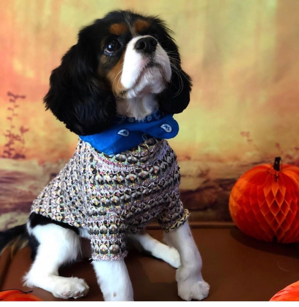 Cavalier King Charles Spaniel in a sweater in a fall scene