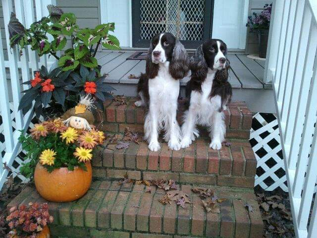 English Springer Spaniels in a fall scene