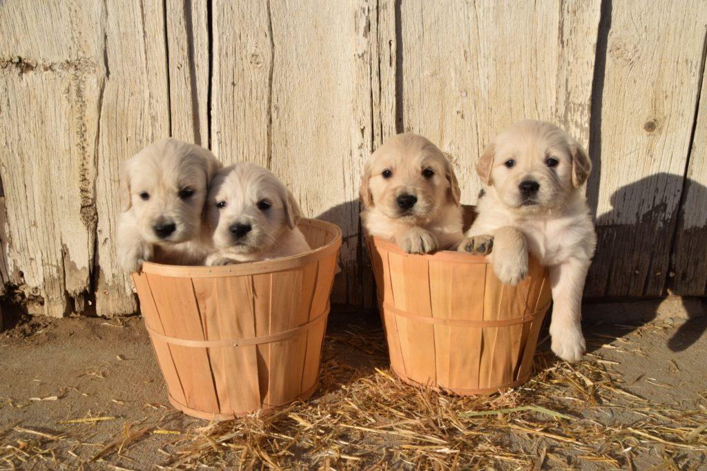Golden Retriever puppies in baskets